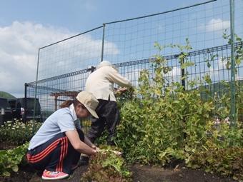 菜園で野菜の収穫